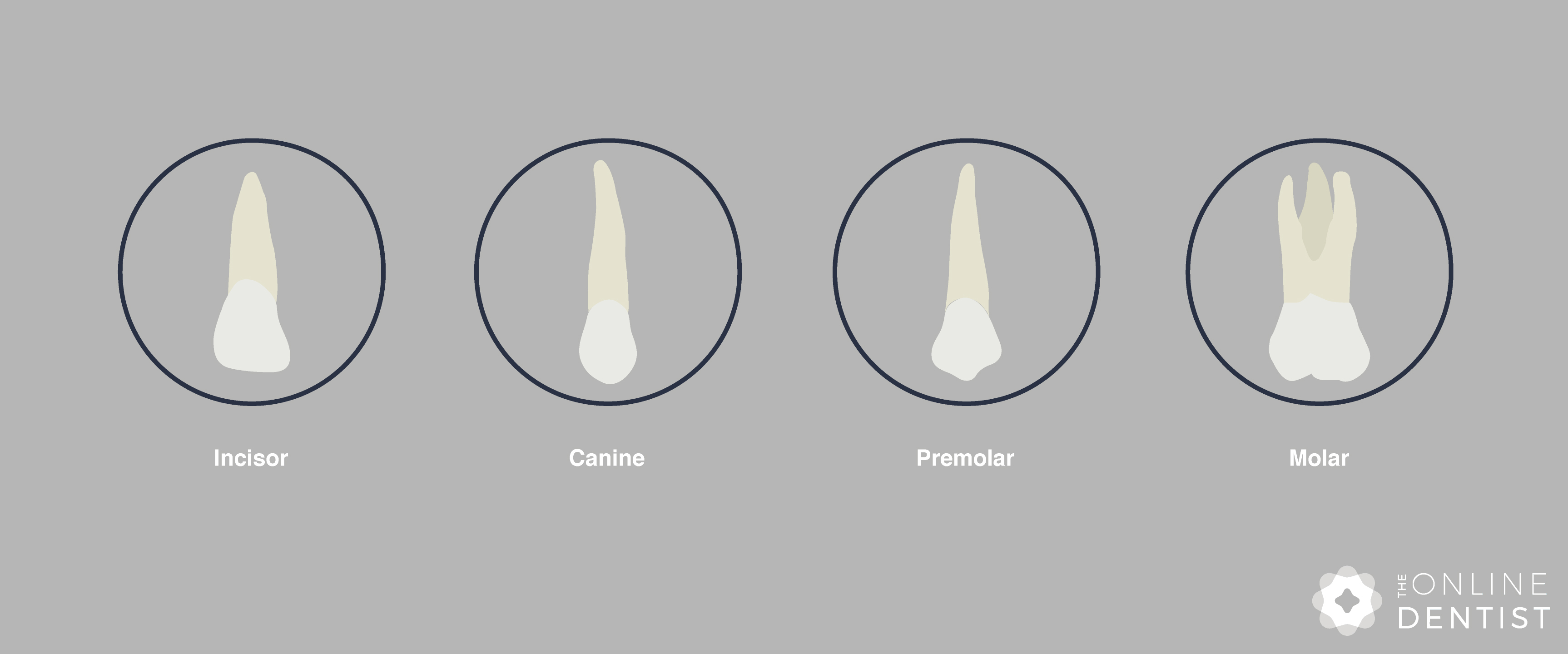 different-types-of-teeth