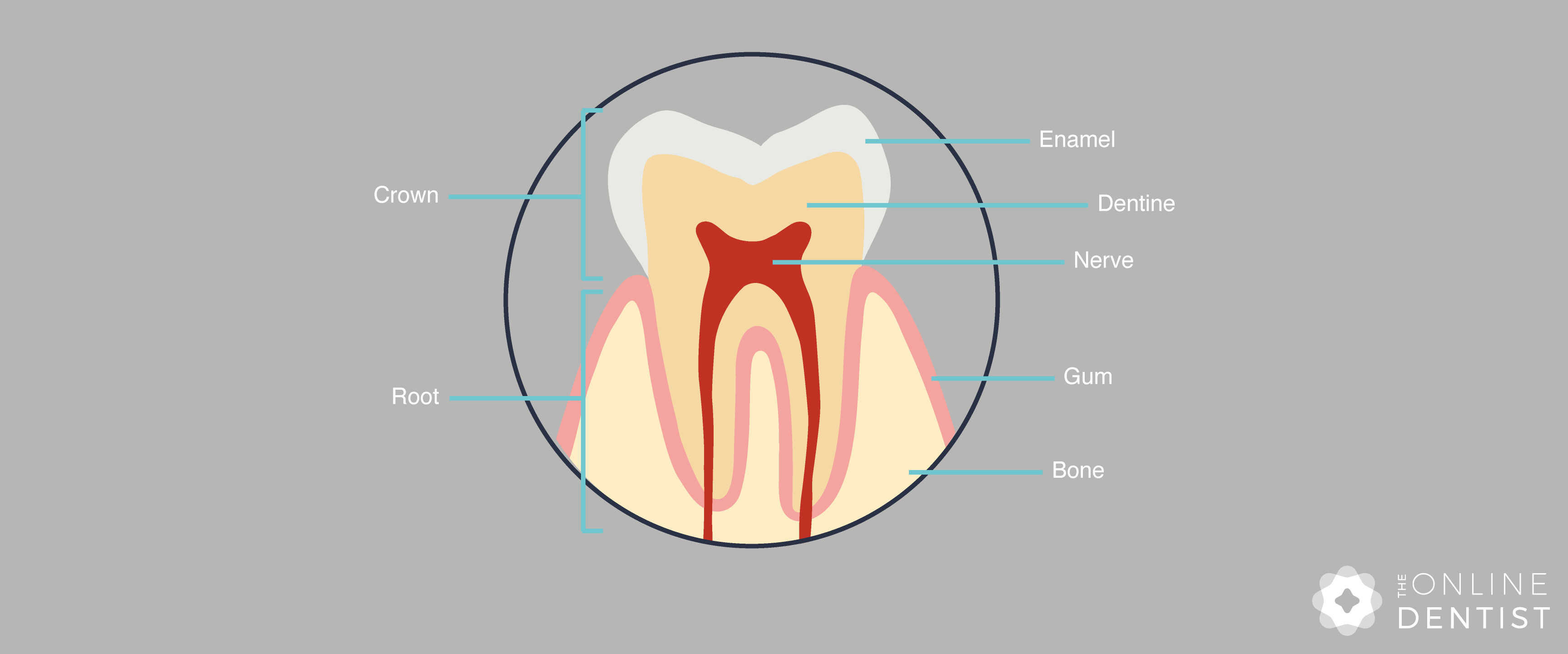 tooth-anatomy-diagram